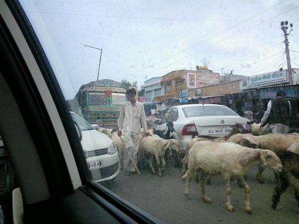 kenapa sapi dianggap suci bagi umat hindu 1 (2)